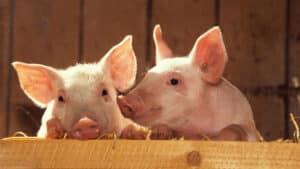 domuz-yağı-büyüsü